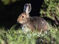 На Львівщині катастрофічно зменшується популяція зайця-русака